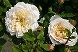 Crocus Rose® - Container Rose im 5 ltr. Topf
