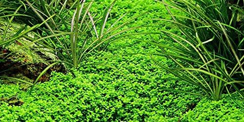 Aquariumpflanze Hemianthus callitrichoides \'Cuba\' von Tropica Nr.048B Wasserpflanzen Aquarium Aquariumpflanzen