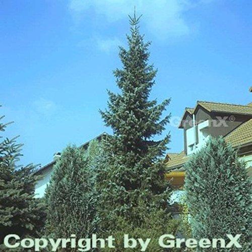Serbische Fichte 125-150cm - Picea omorika