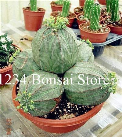 agrobits vendita calda! piante succulente 100 pz euphorbia obesa bonsai, molto rale fiore di cactus pianta in vaso per il giardino piantare, facile da coltivare: 3