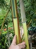 Bambus Phyllostachys aureosulcata Spectabilis - Lieferhöhe ca. 80 cm + 1 kg McBambus Bambusdünger