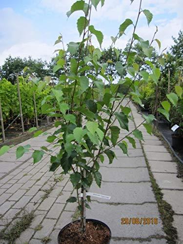 Birke (Betula utilis Trinity College - Weißrindige Himalaya-Birke Trinity College)