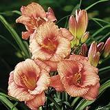 Taglilie Strawberry Candy - Hemerocallis - Im 9 cm Topf - Lilien Zierpflanze, winterhart zum Pflanzen, farben-frohe Blüten, mehrjährig - Top Qualität von Garten Schlüter