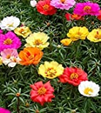 Farmerly Frische 10000 Seeds - Moss Rose Bodendecker Samen Mischung