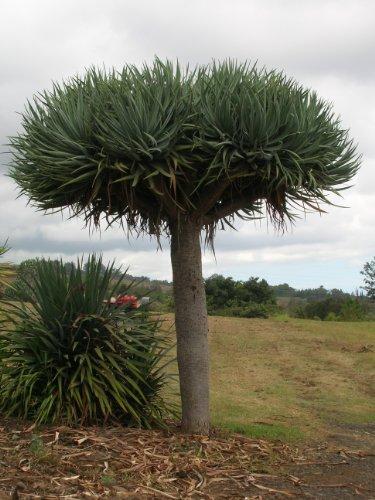 dracaena-draco-kanarischer-drachenbaum-super-zimmerpflanze-8-frische-samen
