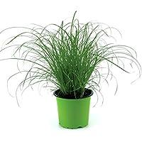 Katzengras Pflanze, Hochwertiges Cyperus Katzengras, zur Verdauungsunterstützung