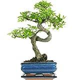 Olmo cinese, Bonsai, 7 anni, 32cm