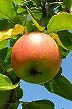 Apfel Malus Cox Orange Renette CAC Größe U-Form, , 7,5-L-Topf