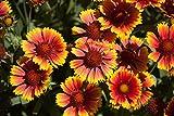 Kokardenblume 'Arizona Sun' 10 Samen (Gaillardia Aristata Arizona Sun)