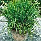 #10: Creative Farmer Herb Plant Seeds Lemon Grass - Citronella Grass Herb Plants For Home Garden Seeds Kitchen Garden Seeds Pack
