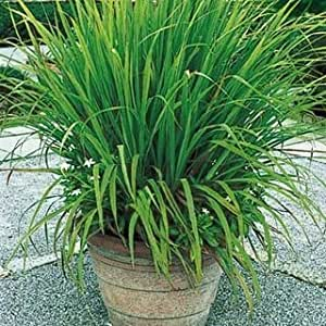 creative farmer herb plant seeds lemon grass citronella grass herb plants for home garden. Black Bedroom Furniture Sets. Home Design Ideas