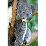 Cuadro sobre lienzo 40 x 60 cm: sweet koala de Colourbox - cuadro terminado, cuadro sobre bastidor, lámina terminada sobre lienzo auténtico, impresión en lienzo