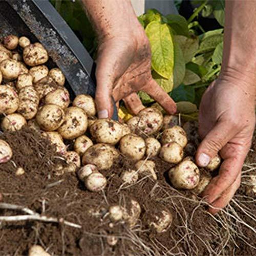 SummerRio Garten-50 Stück Selten Kartoffel Samen Bio Pflanzkartoffel Spezialität Süßkartoffel Gemüse Samen Mehrjährig Winterhart Für Garten Balkon Terrasse -