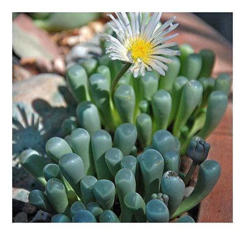 Fenestraria aurantiaca - succulente - 10 graines
