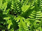 Staudenkulturen Wauschkuhn Dryopteris filix-mas - Wurmfarn - Farn im 9cm