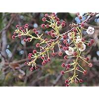 Acacia Sinuata, reichblühende Akazie, 10 Samen