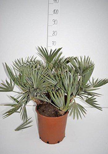 Trithrinax campestris - Blaue Nadelpalme - verschiedene Größen (40-50cm - Ø 13cm)