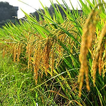 100 graines / pack semences de riz de haute qualité