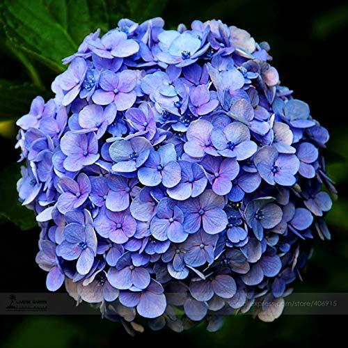 Bellfarm Bonsai Hydrangea paniculata grandiflora azul raras flores grandes -15pcs alta geranio