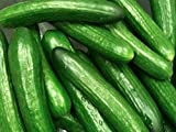 Freiland-Salatgurke - Moneta - bitterfrei - 30 Samen