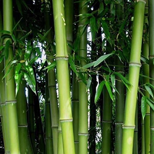 Xianjia Garten - Rarität 20 Stück Bambus Exotische Samen aus China winterhart mehrjährig als Kübelpflanze auf Balkon & Terrasse (4)