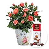 Pflanze Orangefarbene Rose im romantischen Nostalgie-Topf und Pralinen-Herzen