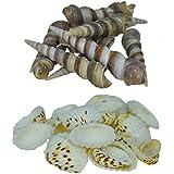 AVMART Sea Shells For Home Decor, Aquarium, Pack Of 2 (600 Gms)