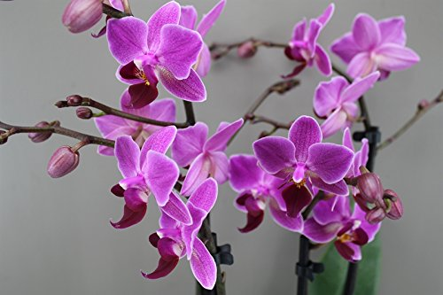 4-stem-purple-orchid-moth-phalaenopsis-next-day-delivery-orchid-plant-gift-christmas-love-luxury-bea