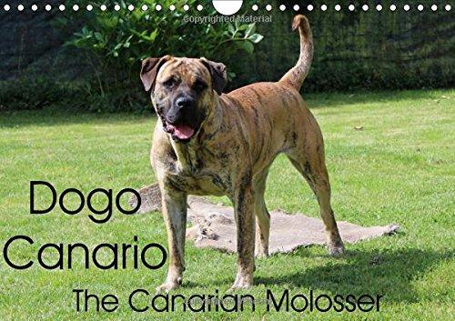 dogo-canario-the-canarian-molosser-wall-calendar-2017-din-a4-landscape-the-dogo-canario-is-a-spanish
