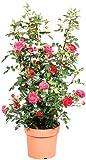 Kletterrose Courtyard® Haka? rosa, 1 Rosenstock, topfgepflanzt
