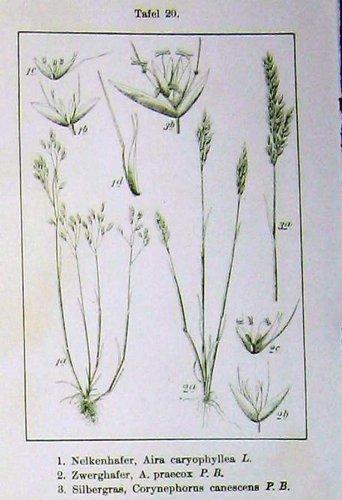 flowers-sturms-1900-zwerghafer-canescens-apera-spica