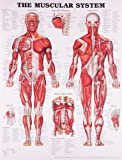 Image de The Muscular System Anatomical Chart
