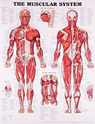 Anatomical Chart The Muscular System