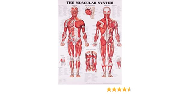 The Muscular System Anatomical Chart: Anatomical Chart Company ...