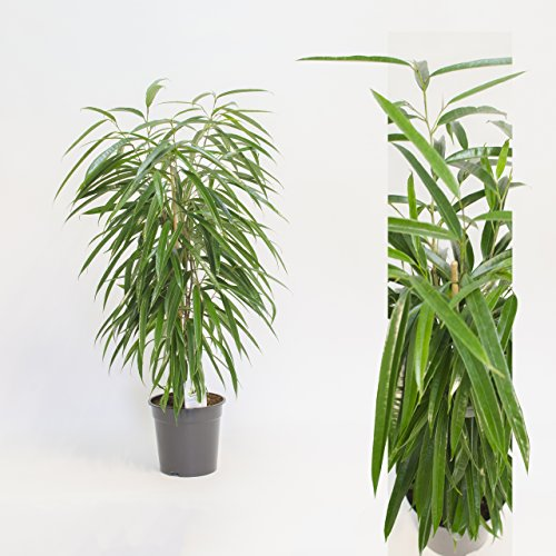 Inter Flowers - Ficus binn. Alii 100 cm+/- Hoch , Zimmerpflanze, Büropflanze