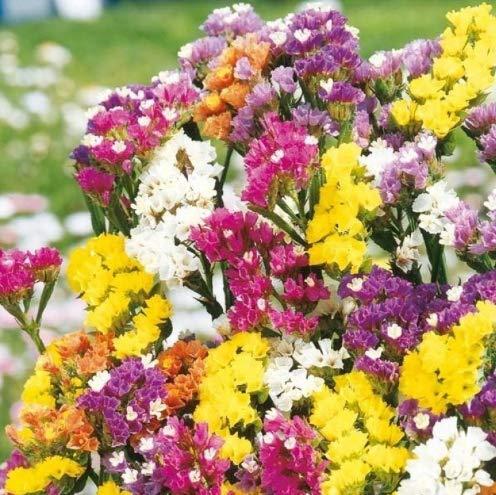 Qulista Samenhaus - 30pcs Rarität Strandflieder Statice Mischung, Blumensamen winterhart mehrjährig in jedes Sommerblumen- und Staudenbeet