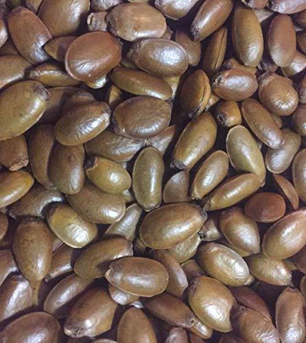 Asklepios-seeds 1000 Samen Annona muricata, Stachelannone, Sauersack, Graviola