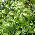 lichtnelke - Kraut der Unsterblichkeit ( Gynostemma pentaphyllum ) Jiaogulan Tb9 von Lichtnelke Pflanzenversand bei Du und dein Garten