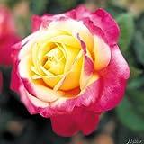 Edelrose Pullmann Orient Express in Rosa & Gelb - Duftrose winterhart - Rose stark duftend - Pflanze wurzelnackt/Wurzelware von Garten Schlüter - Pflanzen in Top Qualität