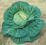 SeeKay Cabbage F1 Spring Hero 75 seeds