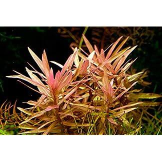 Ammannia Gracilis - Live Aquarium Plants … 13