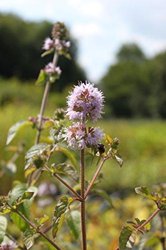 Wasserpflanzen Wolff - Mentha aquatica - Wasserminze, rosa