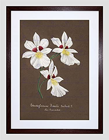 PAINTING BOOK PAGE ORCHID COLLECTION ODONTOGLOSSUM ROEZLII FRAMED PRINT F12x9607