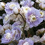 lichtnelke - Gefüllter Wiesen-Storchschnabel (Geranium pratense ' Summer Skies ' )