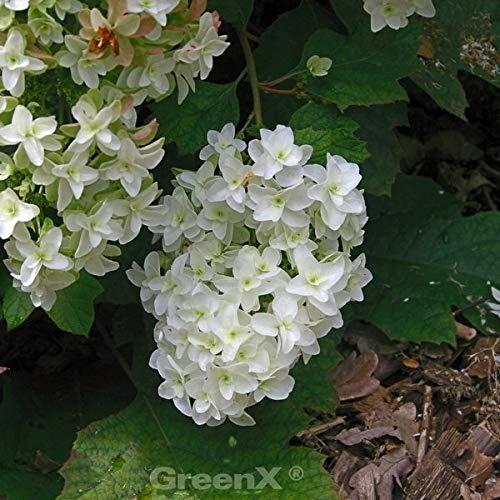 Eichenblättrige Hortensie Snow Giant 80-100cm – Hydrangea quercifolia