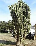 SANHOC Samen-Paket: wir monstrosus 10 Samen essbar Fruit Bizarre CombSH C61 -
