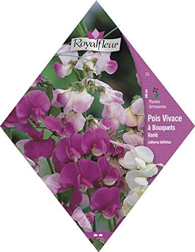 Royalfleur PFRV00075 Graines de Pois Vivace à Bouquets Varie