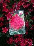 duftende Garten Azalee Rhododendron viscosum Millennium 60 cm hoch mit Ballen