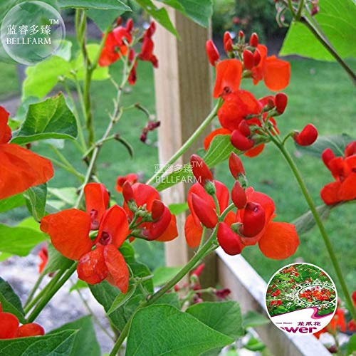 GEOPONICS SEEDS: BELLFARM Bonsai Runner B & # 39; & # 39; Phaseolus coccineus Blumen rote Blumen Hohe Germination -15pcs Rose/pack