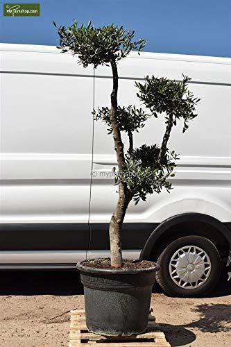- echter Olivenbaum - Größe 180+cm - Topf Ø 55cm - Pom Pom - Speditionsware ()